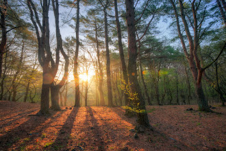 Photo: Sunrise Through The Pines || 松原の日の出  After a long, sleepless night of photography, this was a good way to start the day! Took this during a camping trip in April. More at my blog, so check it out!  徹夜してから、新しい日をこのように始まるのはかなり良かったと思ったんです!数ヶ月前キャンプした時にこの写真を撮りました。ブログでもう少し読めるのです。英語ですが。。。  Blog post: http://lestaylorphoto.com/sunrise-through-the-pines/  #japan #sunrise #hdr #landscapephotography #nature