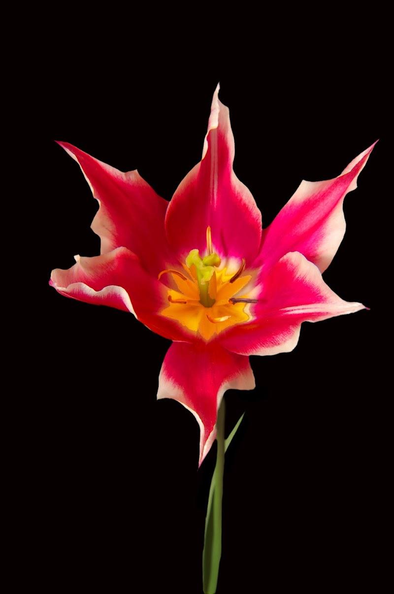 tulipano di mimmo1959