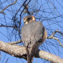 Australian Hobby/Little Falcon