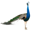 Peafowl (Peacock) Widget icon