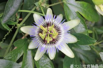 Photo: 拍攝地點: 梅峰-溫帶花卉區 拍攝植物: 紫冠西番蓮 拍攝日期: 2015_10_27_FY