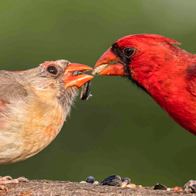 A Touching Moment by Michael Buffington - Animals Birds ( bird, detail, environment, red, cardinal, nature, natural,  )