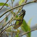 Sulphur Cicada