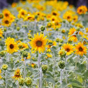 Sunflower garden by Priscilla Renda McDaniel - Flowers Flower Gardens ( many, sunflower, yellow, small, garden, flower,  )