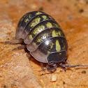 Queen Sow Bug