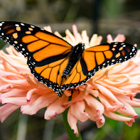 Butterfly by Rick Touhey - Animals Insects & Spiders ( butterfly, flower garden, nature, flower,  )