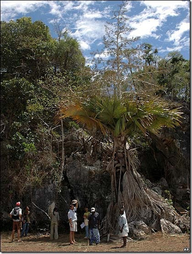 picture of new palm tree species found in madascagr