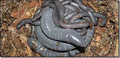 A family of caecilians (5RM)