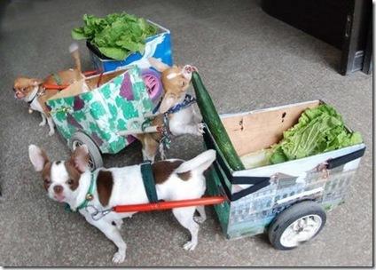lettuce dogs 1