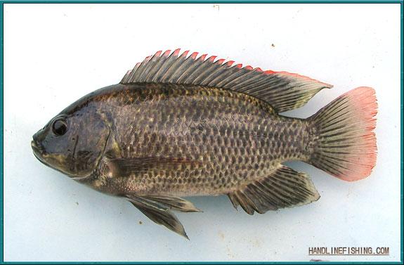 freshwater mozambique tilapia