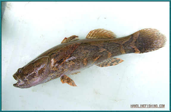 Freshwater marble goby for Freshwater goby fish