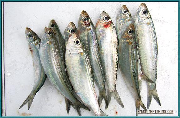 Sardinella for White fish types