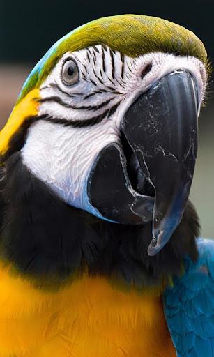 Parrot Ara Ararauna LWP