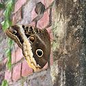 Mariposa búho borde amarillo