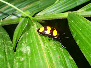 Photo: Pretty beetle issues a warning with his yellow stripes