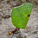 Leafcutter Ant, Atta Ant