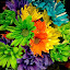 Colorful Mums by Lawrence Ferreira - Flowers Flower Arangements ( bouquet, colorful, floral arrangement, pretty, cheery, happy, serene, serenity, lovely, chrysanthemums, pleasant, mums, colorful mums, flowers, floral, wonderful,  )