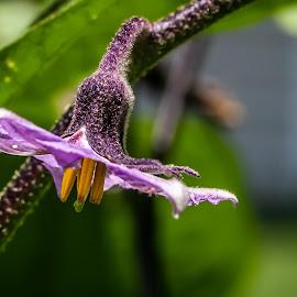 Eggplant Blossom by Ed Stines - Food & Drink Fruits & Vegetables ( flower bud, nature, rain drops, plant, vegetable flower, garden, vegetable, food, flower )