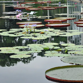 Dinner Plate Lily Pads by Susan Grefe - Landscapes Waterscapes ( water, lilies, lily pads, pond )