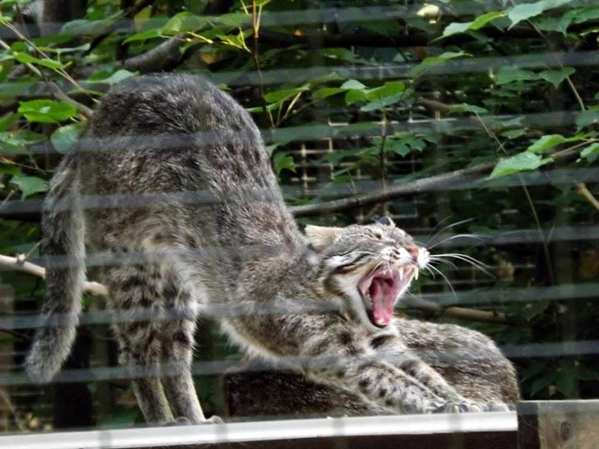 Chat léopard de l'Amour, Parc des Félins - Tous droits réservés