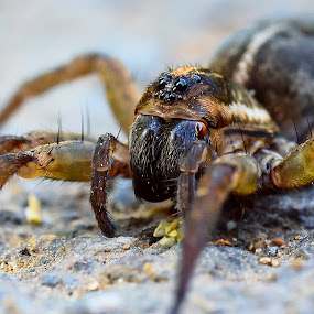 by Cretu Stefan Daniel - Animals Insects & Spiders ( hairy, wild, poisonous, spider, cross )