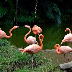 Flamingos by Simon Hanžurej - Animals Birds (  )