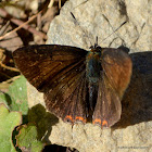 safire butterfly