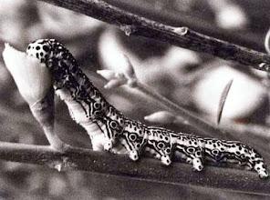 """Photo: Un petit coup de rosée dans une coupe de genêt (1974). Lubéron (04) Chenille de noctuelle """"Apopestes spectrum"""" - le spectre -"""