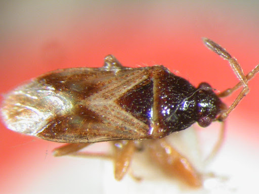Sweetocoris minitus Scudder