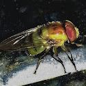 Mosca-das-Flores-Copestylum / Copestylum Hoverfly