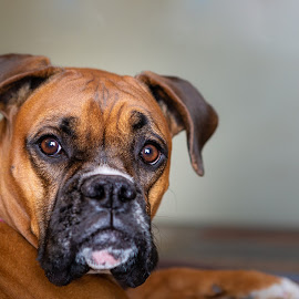 What You Looking At by Craig Lybbert - Animals - Dogs Portraits ( boxer, brown eyes, dox, brown )