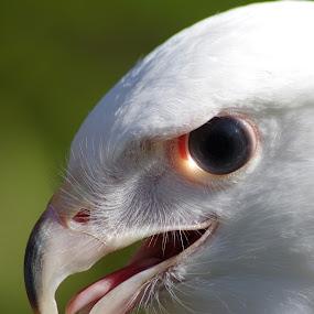 Laser Eye by Jenny Gandert - Animals Birds ( blue, white, light, leucistic, eye, hawk )
