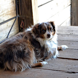 Resting in the shade. by Carrie Cooper - Animals - Dogs Portraits ( barn life, dog )