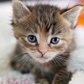 by Brook Kornegay - Animals - Cats Kittens ( face, kitten, cat, blue, pet, feline, tabby, eyes )