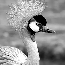 Grue Royale by Gérard CHATENET - Black & White Animals