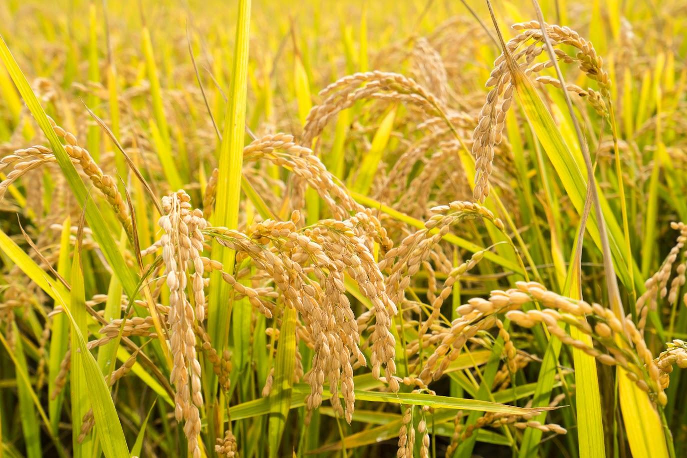 北竜町の稲