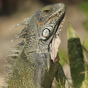 A friend joined us for lunch  by Greg Bracco - Animals Reptiles ( lizard, iguana, reptile,  )
