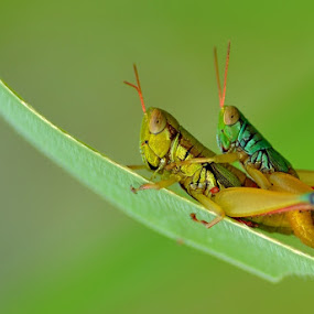 Grasshopper Making by Riza Arif Pratama - Animals Insects & Spiders ( mating, wildlife )