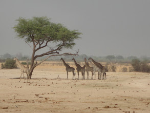 Photo: Waiting for the lioness to leave before they will go back to the waterhole