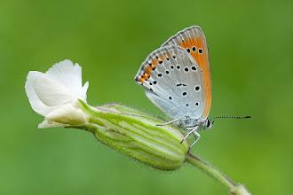 Photo: Lycaena, dispar, Cuivré des marais, Large Copper  http://lepidoptera-butterflies.blogspot.com/