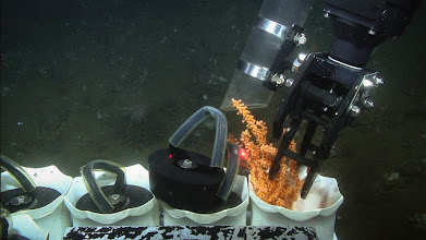 Photo: Placing a coral fragment, using the hydraulic manipulator, into a sample quiver on the Kraken2 ROV (Image courtesy of Gulf of Maine Deep Sea Coral Science Team 2014/NURTEC-UConn/NOAA Fisheries/UMaine)