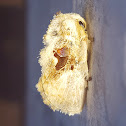 Bird-Dropping Slug Moth