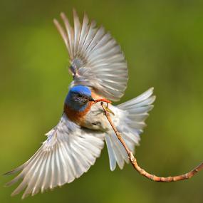 Lunch by Dan Pham - Animals Birds ( bird, bluebird, wing, wildlife, animal,  )