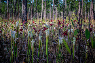 Photo: Blooming Pitcher Plants at the Splinter Hill Bog