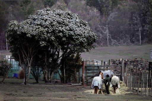 Photo: Des cendres volcaniques recouvrent un arbre après l'éruption du mont Tongariro, en Nouvelle-Zélande (© 2012 AFP)