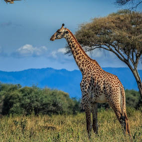 Diraffe by Dag Hafstad - Uncategorized All Uncategorized ( 2017, toppafrika, safari tarangire 1. juli 2017 )