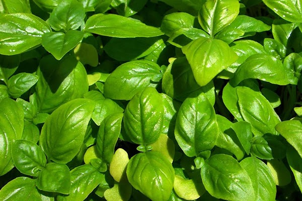 BasilWith round pointed leaves this plant resembles peppermint. Basil now grows in many regions...