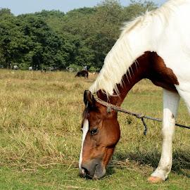 Breakfast by Kuntal Das - Animals Horses ( mare, greengrass, grass, breakfast, green, horse )