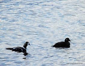 Photo: Harlequin Ducks on Resurrection Bay, near Seward