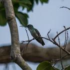 Beija-flor-de-banda-branca(Versicolored Emerald)